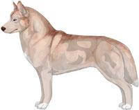 Pale Red Siberian Husky