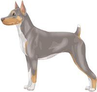 Pearl Tri Rat Terrier