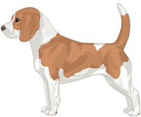 Red & White Beagle