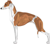Red and White Italian Greyhound