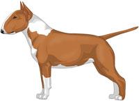 Red & White Miniature Bull Terrier