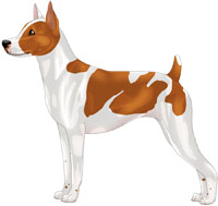 Red & White Rat Terrier