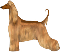 Red Afghan Hound