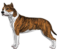 Red Brindle & White American Staffordshire Terrier