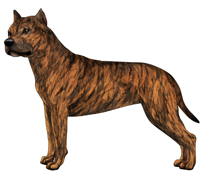 Red Brindle American Staffordshire Terrier
