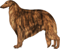Red Brindle Borzoi