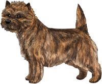 Red Brindle Cairn Terrier
