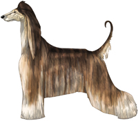 Red Brindle Domino Afghan Hound