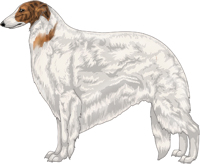 Red Brindle with Extreme White Piebald Borzoi