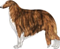 Red Brindle with Irish White Markings Borzoi