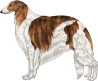 Red Brindle with Piebald White Markings Borzoi