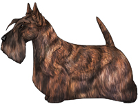 Red Brindle Scottish Terrier