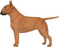 Red Bull Terrier