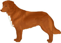 Red Copper with Flesh Nose Nova Scotia Duck Tolling Retriever