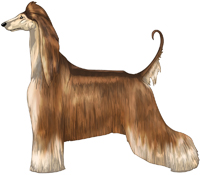 Red Domino Afghan Hound