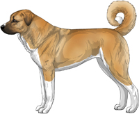 Red Fawn and White Anatolian Shepherd