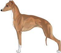 Red Fawn and White Italian Greyhound