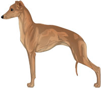 Red Fawn Italian Greyhound