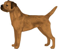 Red Grizzle Border Terrier