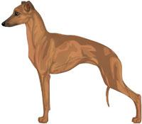 Red Italian Greyhound