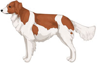 Red and White Kooikerhondje