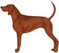 Red Redbone Coonhound