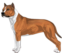 Red Sable and White American Staffordshire Terrier