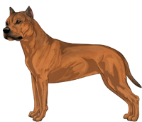 Red Sable American Staffordshire Terrier