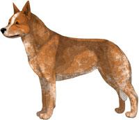 Red Speckled Australian Cattle Dog