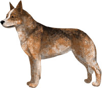 Red Speckled w/Black Hairs Australian Cattle Dog