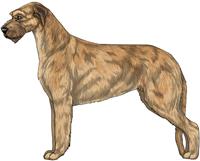 Red Wheaten Irish Wolfhound