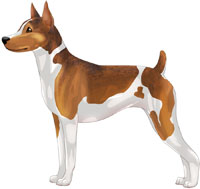 Red White & Sable Rat Terrier