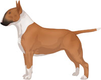 Red & White Bull Terrier
