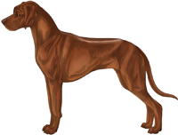 Ridged red wheaten with brown pigment Rhodesian Ridgeback