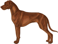Ridgeless red wheaten with brown pigment Rhodesian Ridgeback