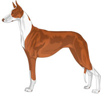 Red and White Short-Haired Ibizan Hound