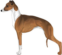 Sable and White Italian Greyhound