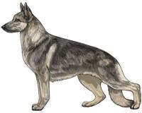 Sable Black and Cream German Shepherd Dog