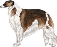 Sable with Black Mask and Piebald White Markings Borzoi