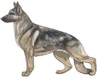 Sable Blue and Cream German Shepherd Dog
