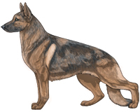 Sable Blue and Tan German Shepherd Dog