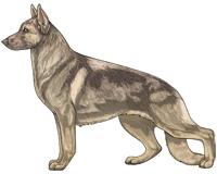 Sable Fawn and Cream German Shepherd Dog