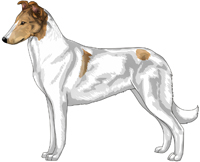 Sable Head White Smooth Collie