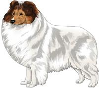 Sable Headed White Shetland Sheepdog