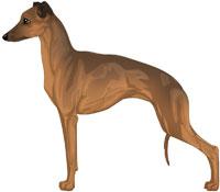 Sable Italian Greyhound