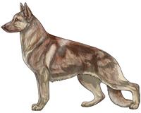 Sable Liver and Cream German Shepherd Dog