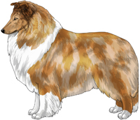 Sable Merle and White Rough Collie