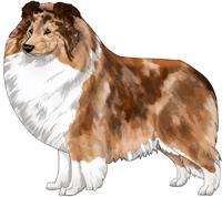 Sable Merle Shetland Sheepdog