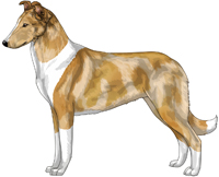 Sable Merle and White Smooth Collie