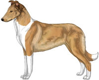 Sable and White Smooth Collie